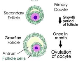 Secondary follicle vs Graafian follicle-3twn3.png
