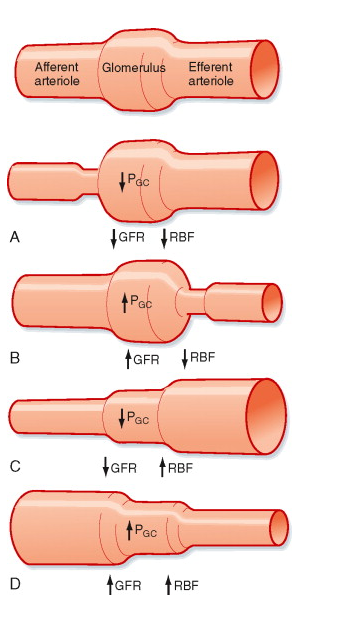 Effects of Angiotensin II on GFR, RPF, and FF-aa-y-ae-glomerulo.png