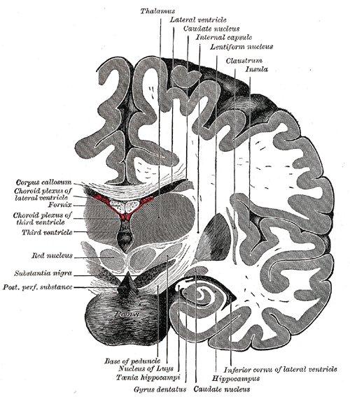 Neuroanatomy Images for your Step 1!-brain.jpg