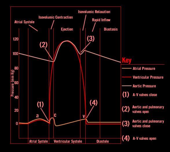Left Atrium and Left Ventricle Pressures-capture.jpg
