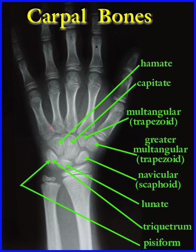 Carpal Bones anatomy-carpals.jpg