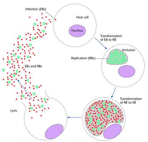 Chlamydia & its Forms-chlamydia-bodies.jpg