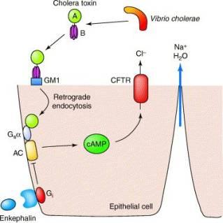cholera toxin mechanism of action-choleratox.jpg