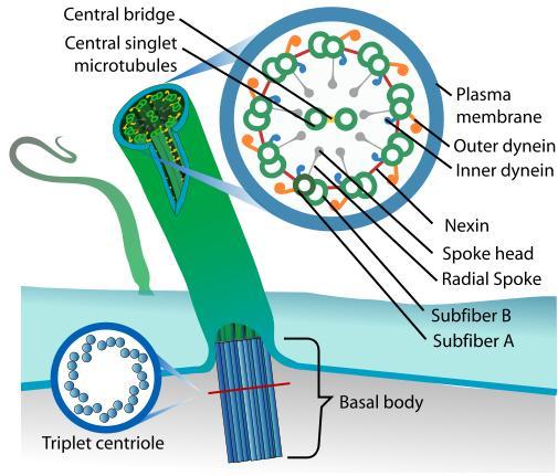 Cilium Ultra Structure-cilium.jpg