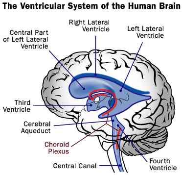 Neuroanatomy Images for your Step 1!-csf-ventricular-system.jpg