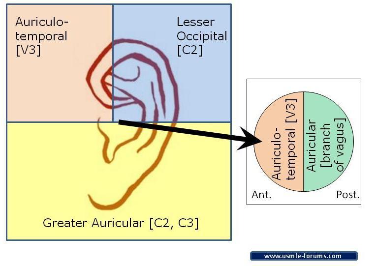 External Ear (Auricle) Nerve Supply-ear-nerves.jpg