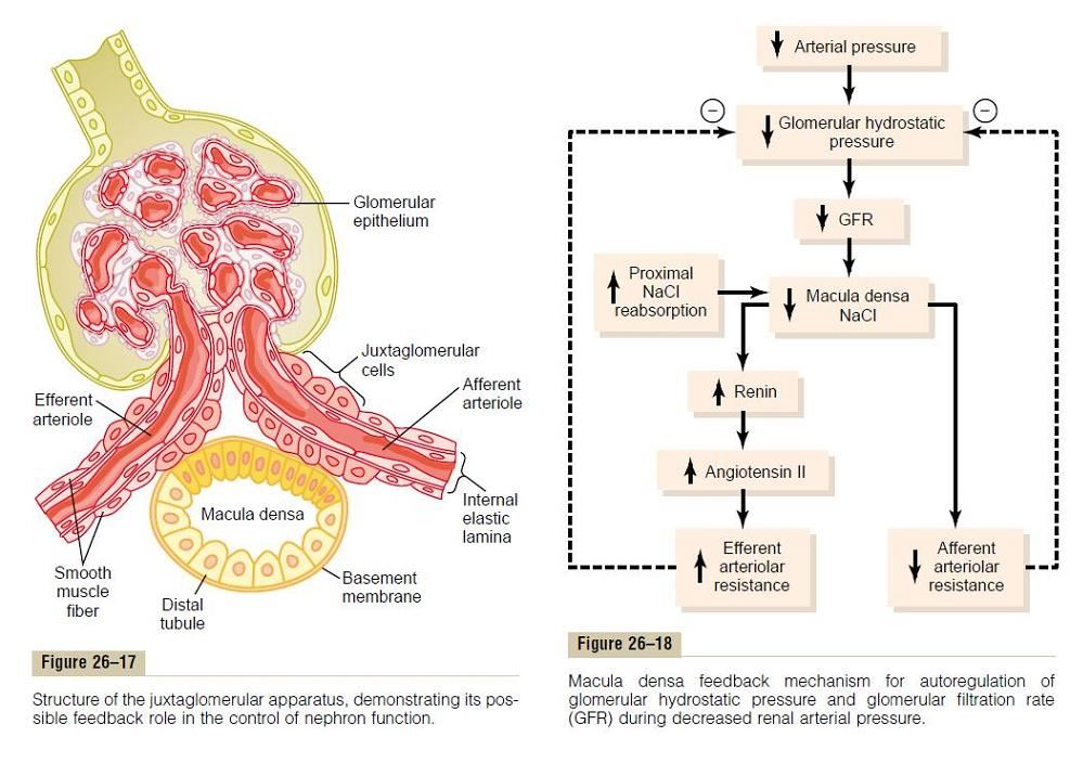 Renal Toxin effect on GFR and arteriolar resistance!-feedback.jpg