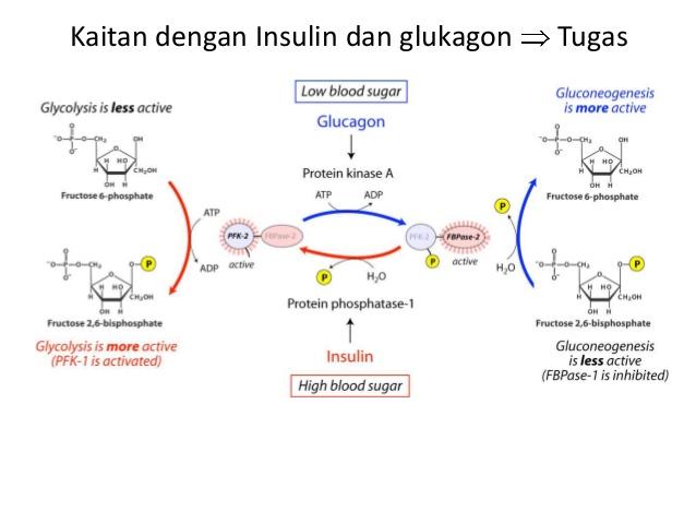 regulation of F2,6BP by unsulin-glukoneogenesis-p4-15-638.jpg