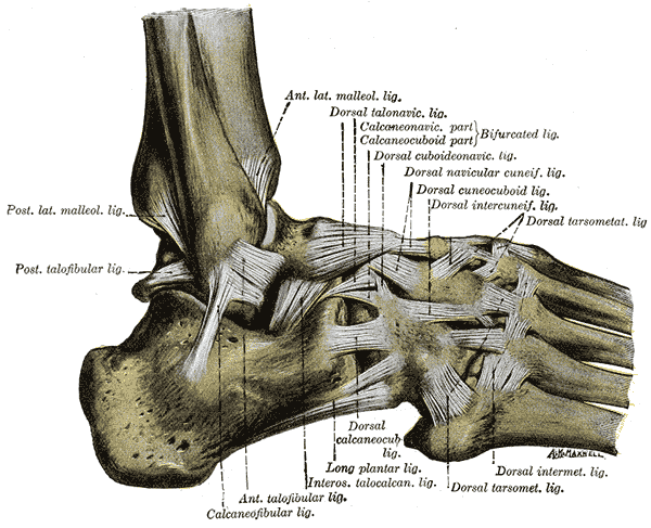 Which ligament in Ankle Sprain!-gray355.png