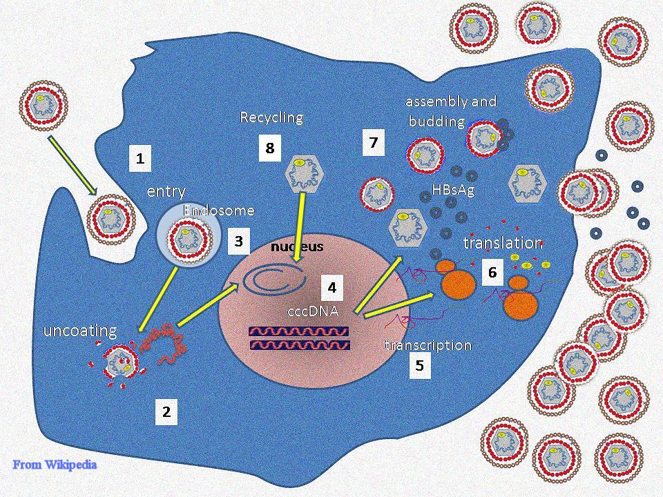 DNA-dependent DNA polymerase-hbv_replication.jpg