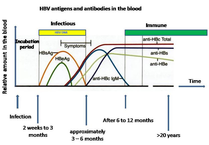 Hepatitis B viral makers timeline-hbv_serum_markers.png