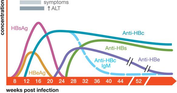 Hepatitis B Serology Question-hepatitis-serology-timeline.jpg