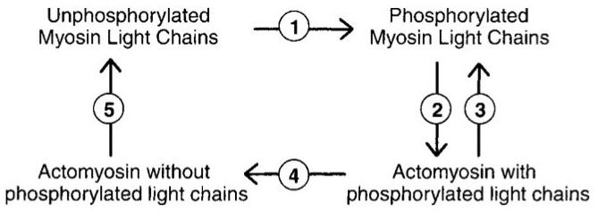 Smooth muscle contraction cycle-imageuploadedbytapatalk-hd1335867577.116078.jpg
