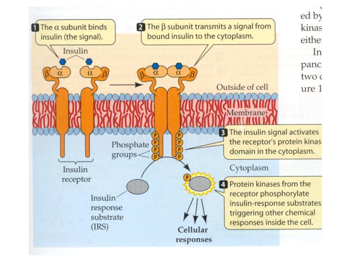Insulin receptor-insulin-receptor.jpg