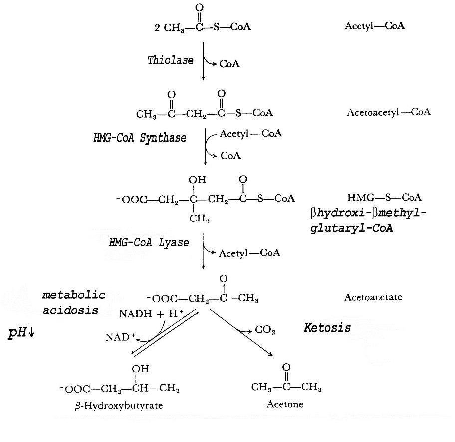 Which enzyme causes fruity odor?-ketone-pathway.jpg