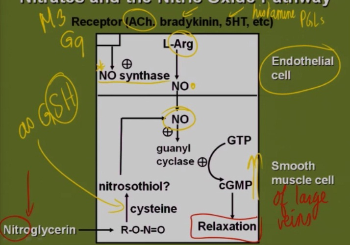 Nitroglycerine Mechanism of Action (Nitric Oxide)?-no-pathway.jpg