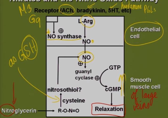 Nitroglycerine Mechanism of Action (Nitric Oxide)?-no-pathway.jpg