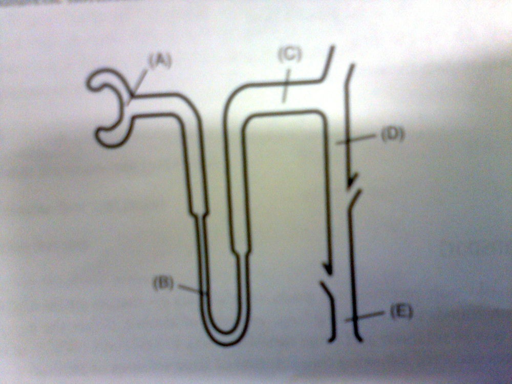 Nephron part most permeable to water!-photo2409.jpg