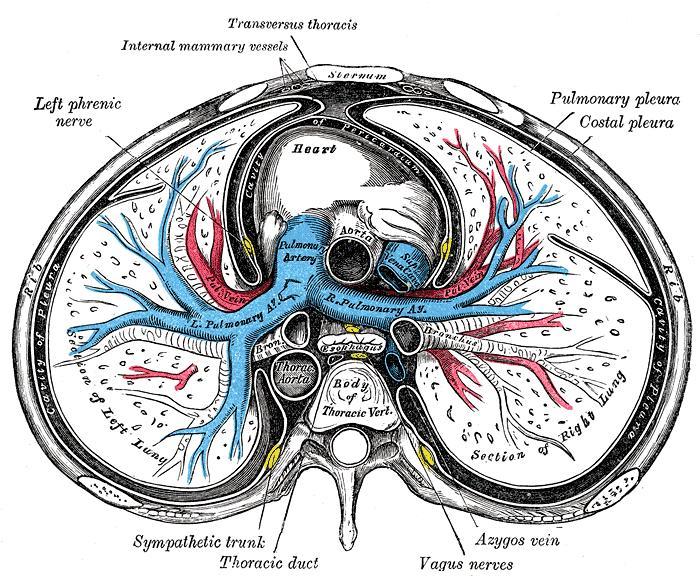 Posterior Mediastinum: Vagus nerve, Azygous vein, and Thoracic duct-posteriormediastinum.jpg