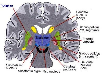 Neuroanatomy Images for your Step 1!-putamen1.jpg