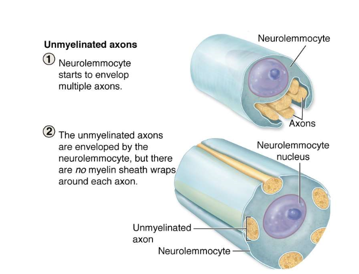 Schwann cell Myelination!-schwanmyelin.png
