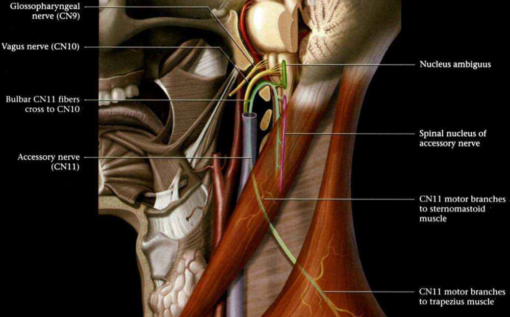 Did the writers of HY Neuroanatomy forget basic anatomy?-screen-shot-2011-06-08-3.09.15-pm.png