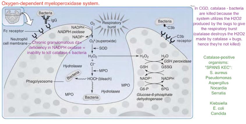 Chronic granulomatous disease diagram-screen-shot-2011-07-16-9.36.28-pm.png