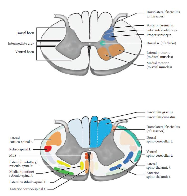 Spinal cord cross section - lesion sites-spinal_cord.jpg