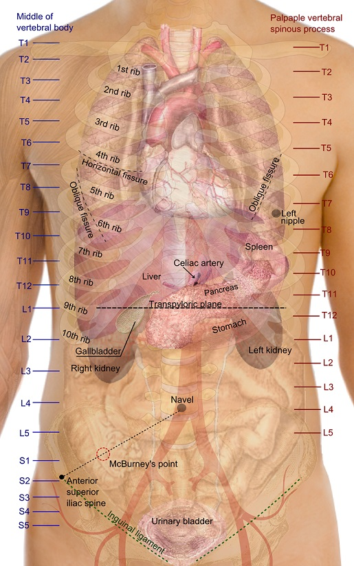 Right fifth intercostal space at midaxillary line-surface_projections_of_the_organs_of_the_trunk.jpg