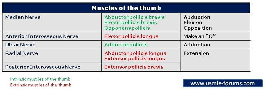 Thumb Muscles-thumb-muscles.jpg